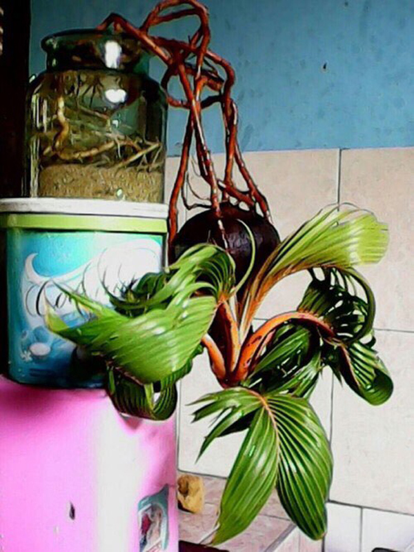 Loại cây được ưa chuộng dịp Tết, khách phải đặt mua trước cả nửa năm
