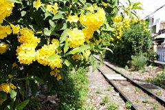 Hoa huỳnh liên nở vàng rực giữa ngày Sài Gòn se lạnh