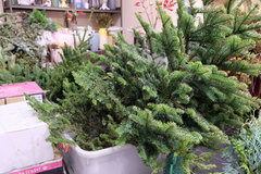 Imported Christmas trees prove popular among buyers in Hanoi