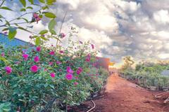 Tốt nghiệp đại học, 9X bỏ việc ở phố về quê trồng vườn hoa hồng quý hiếm, thơm khắp xóm, ai cũng khen