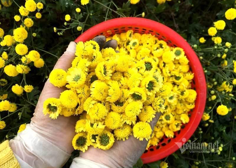 Thảm hoa vàng rực ở Hưng Yên, nhanh tay thu hái gom về tiền tỷ