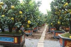 Đeo lúc lỉu 300 quả trên cây: Bưởi cảnh khổng lồ 'hét' giá 100 triệu đồng
