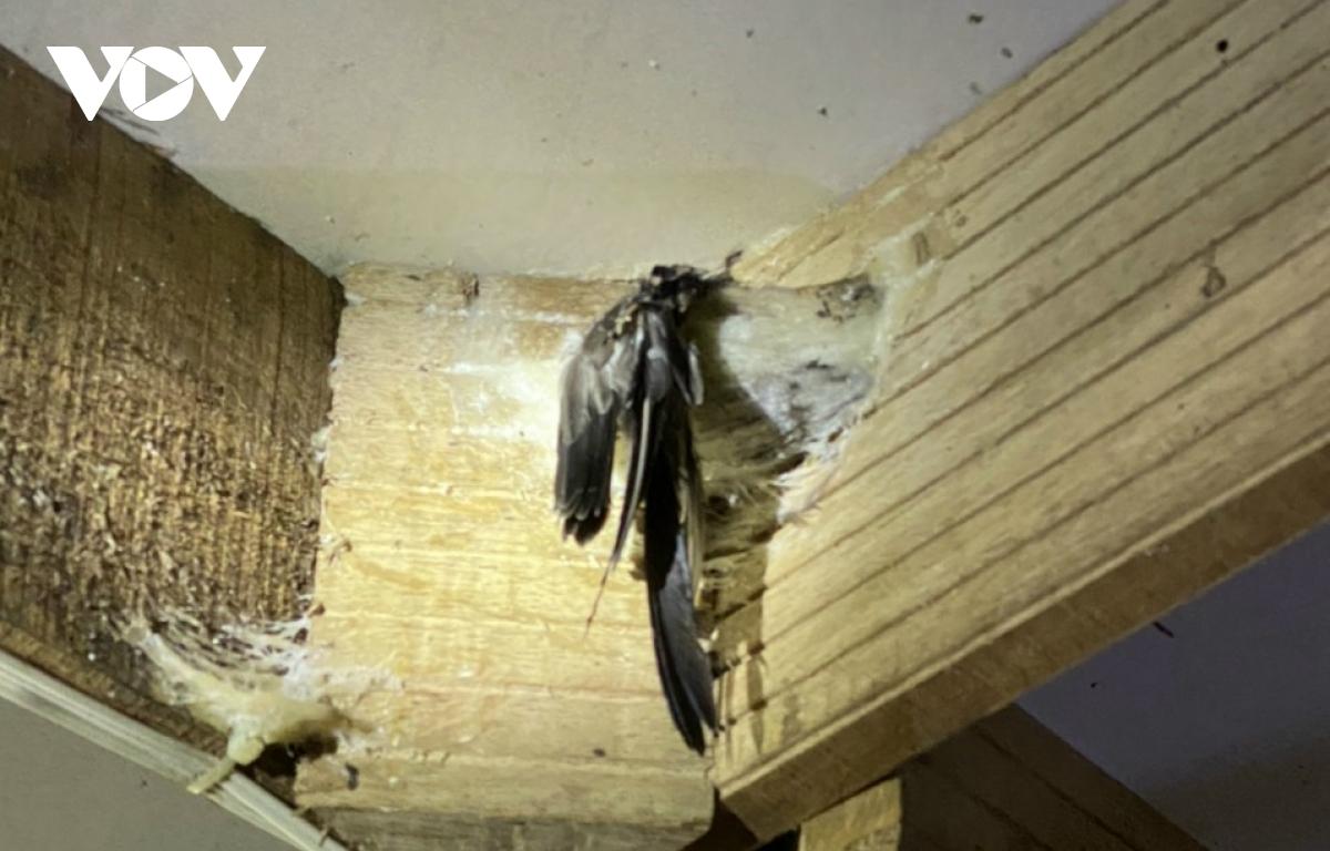 Người nuôi chim yến ở Kiên Giang đang gặp khó