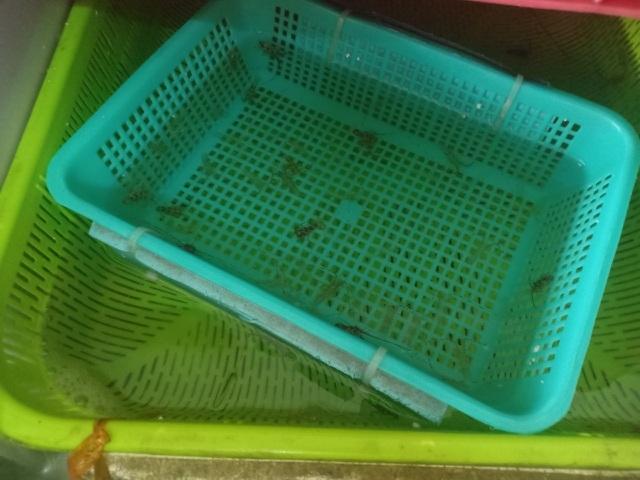 Khánh Hòa: Nửa tháng kiếm 100 triệu đồng nhờ làm nghề 'bẫy' tôm hùm nhí