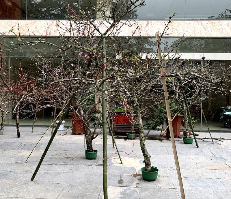 Truy xuất nguồn gốc cây đào: Tuyệt đối không được gây khó khăn cho dân