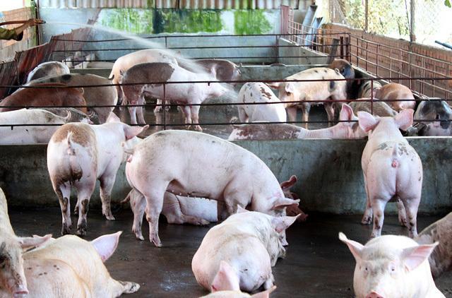 Kiên quyết kiểm soát dịch tả lợn châu Phi, tăng tái đàn hiệu quả
