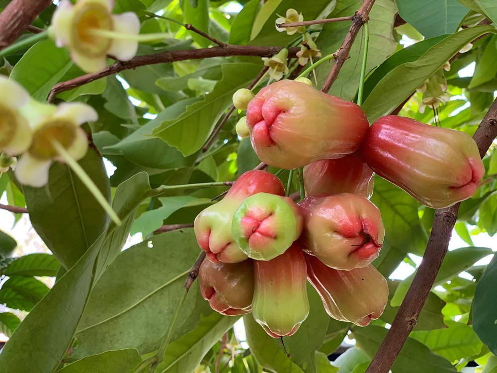 Khu vườn tràn ngập hoa, trái của ca sĩ 'đại gia' Mỹ Lệ