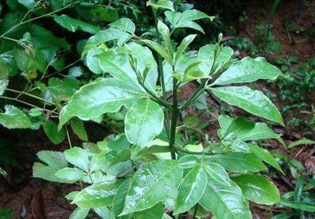 Giống cây toàn thân là 'mỏ vàng', người Việt cứ vào rừng là hái được