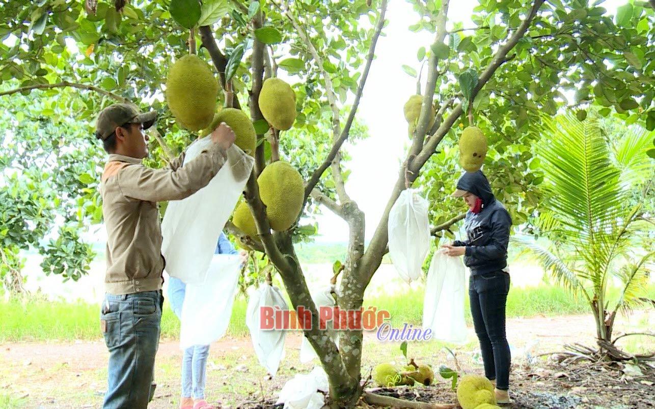 Trồng mít gì ra nhiều trái nứt cả cây, ai cũng chê bán giá rẻ mà vẫn đút túi 4 tỷ/năm