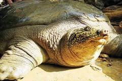 Hà Nội đề nghị bảo tồn nguồn gen di sản Rùa Hoàn Kiếm
