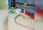 Clip rắn hổ mang chúa chui vào giường ngủ nửa đêm nóng nhất MXH