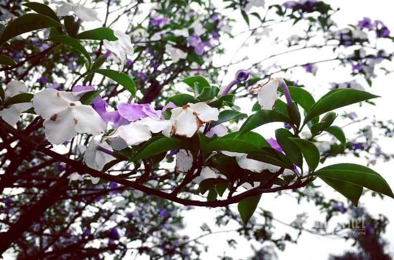 Cây nhài cổ thụ hoa biến đổi màu, đại gia xếp hàng rước về chơi Tết