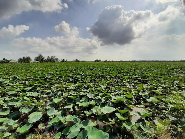 Mỗi năm trúng mùa bỏ túi cả tỷ đồng từ trồng sen lấy củ