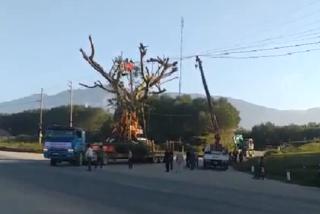 Cắt điện cho xe chở cây 'khủng' đi qua: Công ty điện lực lên tiếng