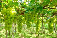 Lạ, nông dân trồng bắp bán thân cây, trồng nho bán lá cho doanh nghiệp muối chua xuất khẩu
