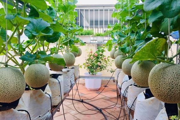 Trồng 50 gốc dưa trên vườn sân thượng, cô gái Sài Gòn bội thu quả