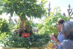'Quái cây' mai dát 9 chỉ vàng SJC 9999 ở làng hoa Sa Đéc xác nhận cú đúp kỷ lục