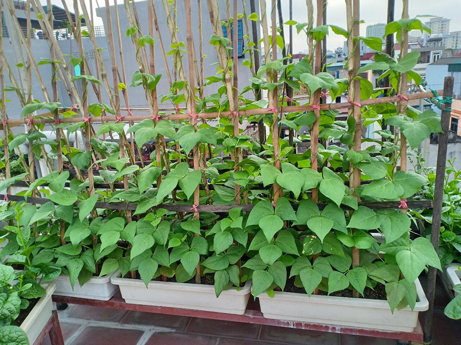 Chi 6 triệu đồng, gia đình Hà Nội có vườn rau xanh mướt