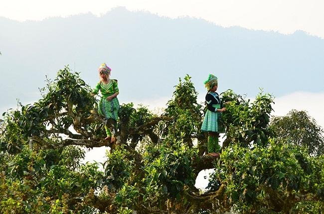 Mang 'Đệ nhất trà Việt' ép thành bánh, bán vài triệu/kg vẫn cháy hàng