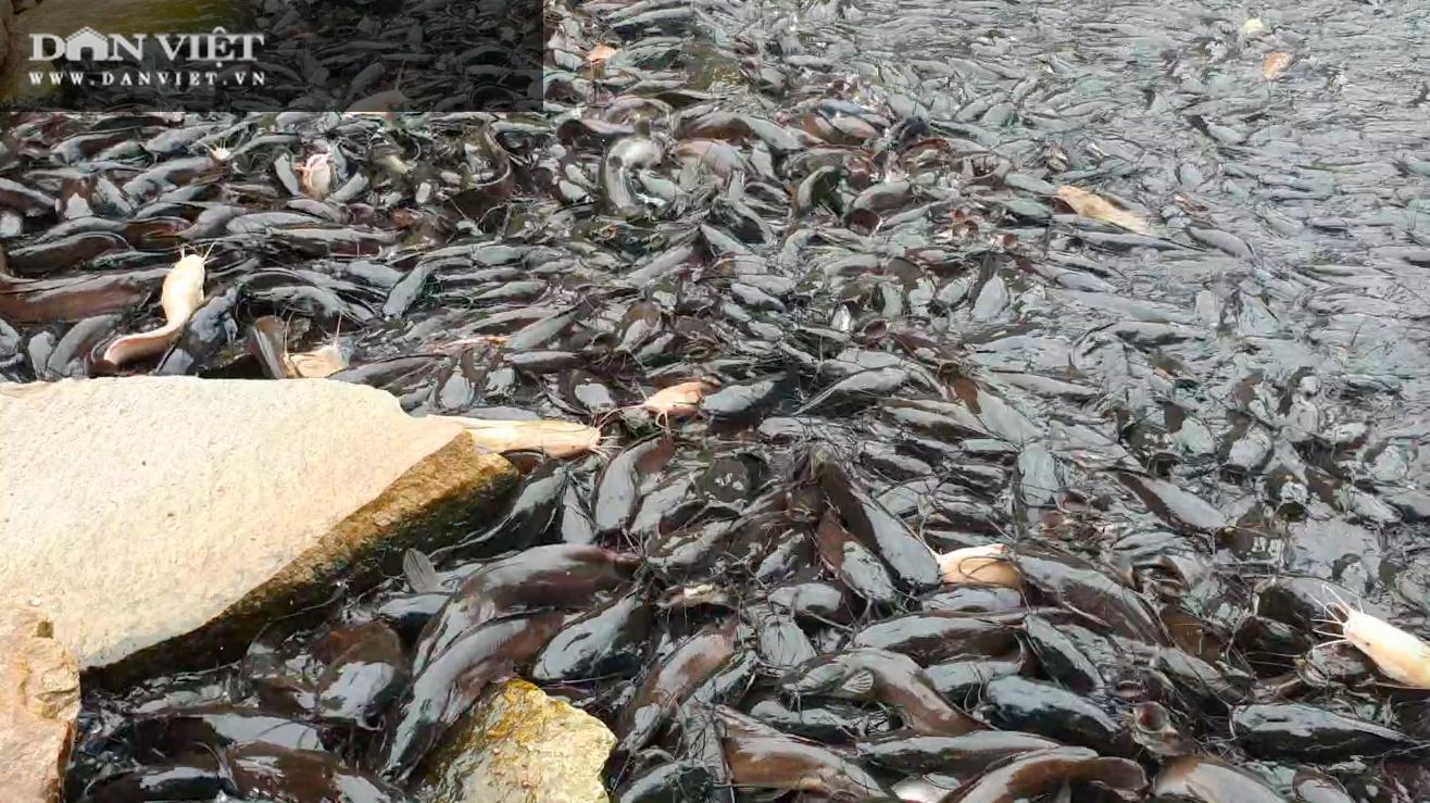 Chuyện khó tin ở tỉnh An Giang: Hàng nghìn con cá trê nổi lên mặt nước đen kịt kín mặt ao
