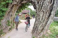 Cây đa 500 tuổi có bộ rễ khủng tạo thành cổng làng 'độc' nhất ở Hưng Yên
