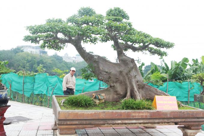 'Siêu cây sung' giá 10 tỷ đồng của đại gia Hà thành, có phải 'chém' quá lời?
