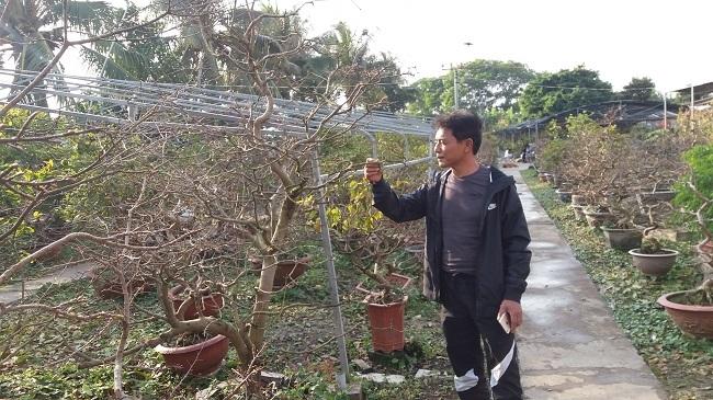 Nông dân điều khiển vườn mai Yên Tử ra hoa dịp Tết thu tỷ đồng