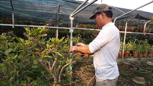 Nông dân 'điều khiển' vườn mai Yên Tử ra hoa dịp Tết, mỗi vụ thu cả tỷ đồng