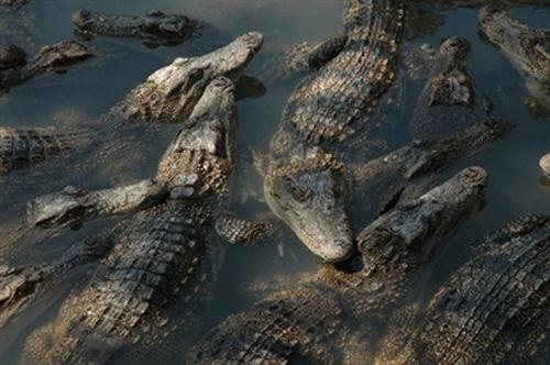 Rớt giá, hàng nghìn con cá sấu bị bỏ đói giữa 'thủ phủ' cá sấu