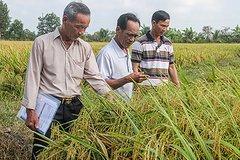 Tổng cục thống kê: Năng suất lúa của Hậu Giang đứng thứ 2 vùng ĐBSCL