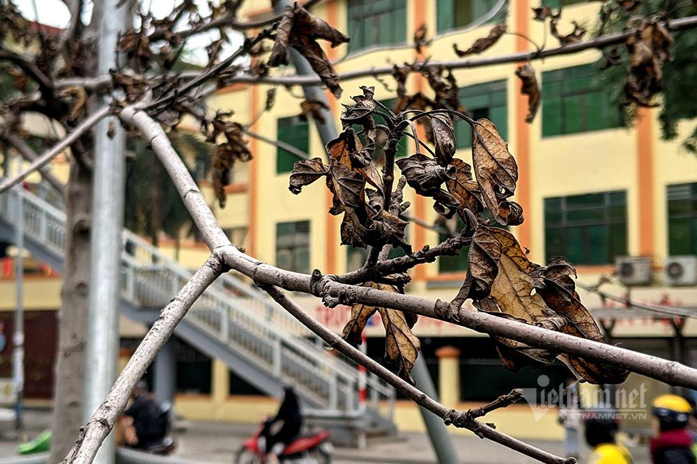 Phong lá đỏ ở Hà Nội đang thay lá chứ không phải chết