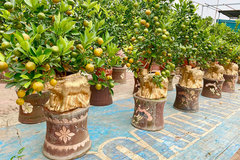 Golden buffalo carrying kumquat tree, a decorative product for 2021