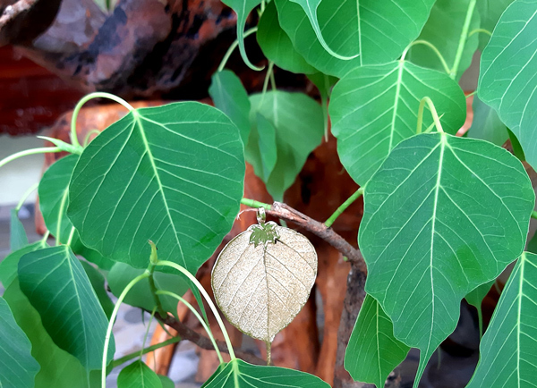 Lấy lá cây này xếp chồng lên nhau, bán giá hàng nghìn USD một sản phẩm