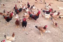 Cho gà mía uống thuốc bắc, anh nông dân thu mỗi ngày 10 triệu đồng từ bán trứng
