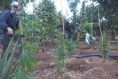 Người đàn ông ở Đắk Lắk khai trồng hơn nghìn cây cần sa chữa bệnh cho gà