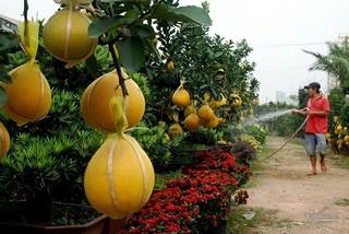 Cây bưởi cổ ra trăm quả đi nghìn km vào Sài Gòn, giá giảm một nửa vẫn ế