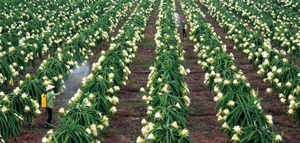 Vietnamese dragonfruit needs to find new export markets: Experts