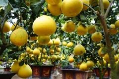 Vườn bưởi cổ thụ trị giá 2 tỷ đồng xuống phố dịp Tết