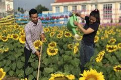 Bỏ việc công ty, chàng trai 9x khởi nghiệp với cánh đồng hoa mặt trời