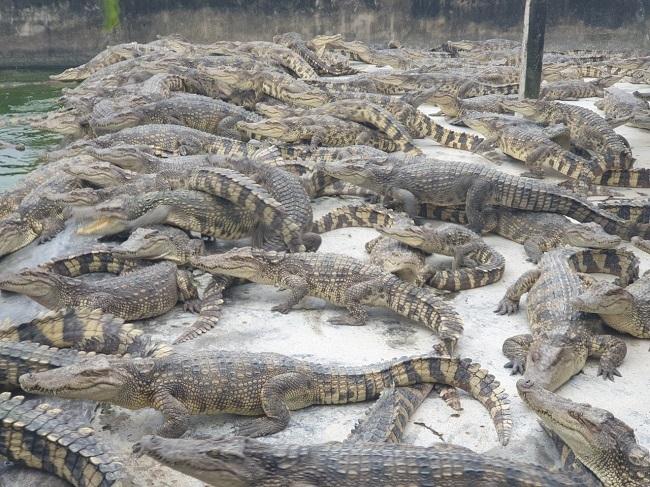 Ế ẩm, hàng nghìn con cá sấu bị bỏ đói, dân nuôi thua lỗ hàng tỷ đồng