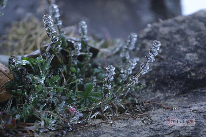 Băng giá biến cỏ cây lung linh như thủy tinh