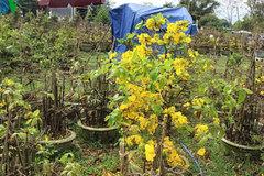 Mai vàng nở hoa sớm khiến nhà vườn thiệt hại 15 tỷ đồng