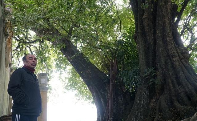 Chuyện ly kỳ về báu vật cây thị thiêng nghìn năm tuổi ở Hà Nội