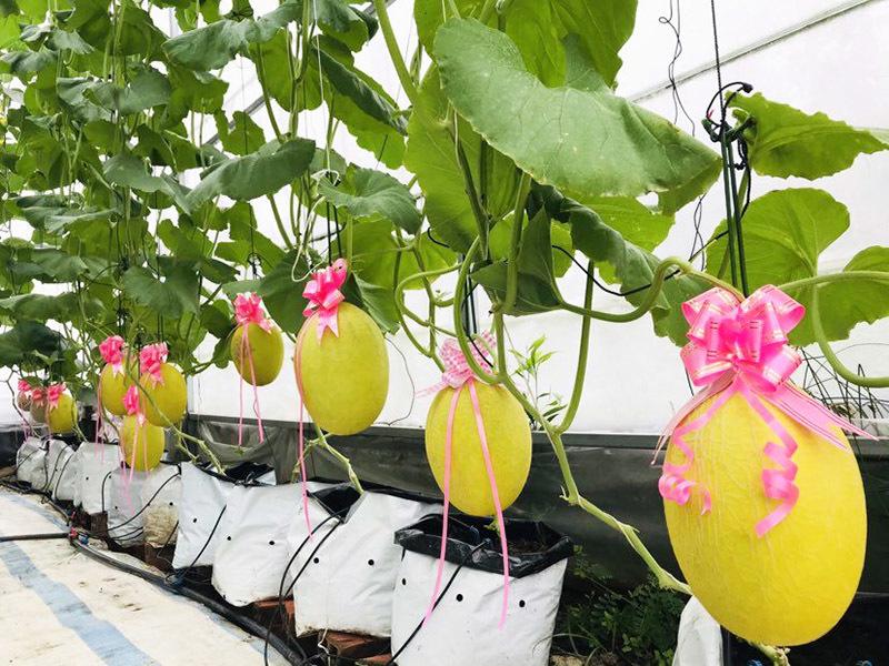 Cô gái Kiên Giang trồng vườn dưa trĩu trái tặng người thân dịp Tết