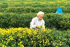 Village earns billions of VND a year from flower cultivated for over a century