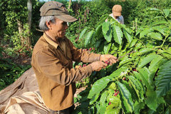 Coffee farmers suffer poor crop, low price