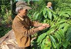 Coffee farmers suffer poor crop, low price