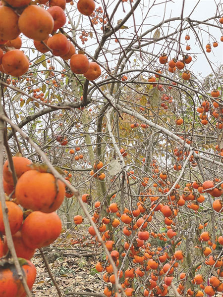 Dried persimmon – a delicacy of Da Lat
