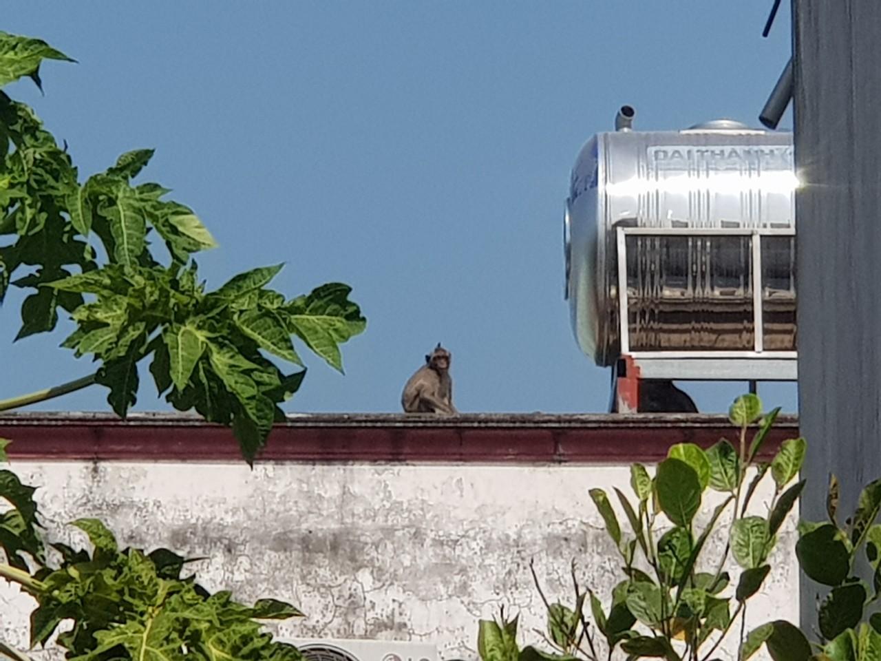 Đàn khỉ hoang 'đại náo' khu dân cư ở Sài Gòn, cơ quan chức năng vào cuộc