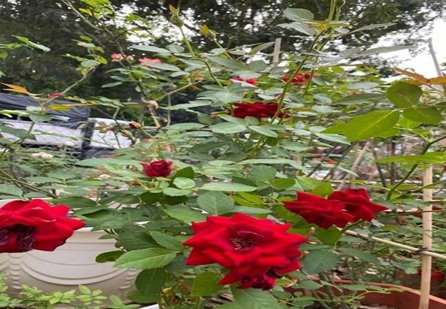 biet thu day hoa cua dien vien quy binh va ba xa doanh nhan 5 Sao Việt hôm nay 25/2: Phút bình yên của Chí Trung và bạn gái ở quê